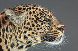 Looking Leopard by Gina Hawkshaw - Original Painting on Box Canvas sized 30x20 inches. Available from Whitewall Galleries
